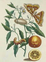 Maria Merian The metamorphosis of insect Surinamensium Giclee Paper Print Poster