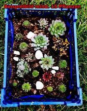 Sukkulenten Mischung,mind. 15 Pflanzen,winterhart,Steingarten