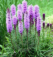 Liatris Floristan Violet Seed Perennial Attracts Wildlife Drought  Resistant