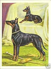 1952 Dog Art Print Austria Tobacco Black & Tan Toy & Standard Manchester Terrier