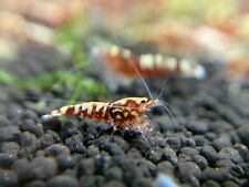 5+1 Crs Red Galaxy Mixed Grade (S-Sss). Live Guarantee- Juvenile