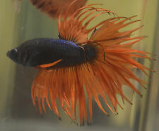 live betta fish- IMPORTED MALE- HOLY GRAIL- KING CROWNTAIL ( CROSSRAY )