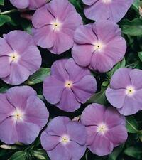 Vinca Heatwave Blue Eye Seed  Annual Large Flower Adaptable Low Maintenance