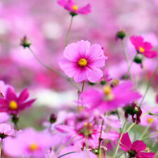 Gesang Flower Seed 100 Seeds Cosmos Bipinnata Beautiful Flower Garden Seeds A263