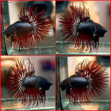 New ListingLive Betta Fish Black Copper Red Devil Crowntail Ct Male #A387