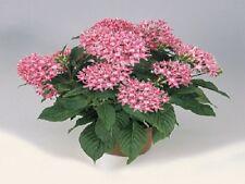 25 Pelleted Seeds Pentas Graffiti Pink Pentas Seeds (Star Flower)