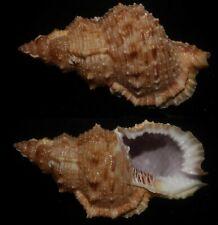 Seashells Bursa latitudo fosteri FROG SHELL 75.7mm F+++/GEM Superb Marine Specie