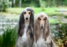 A3| Beautiful Afghan Hounds Poster Size A3 Dog Puppy Cute Poster Gift #15880