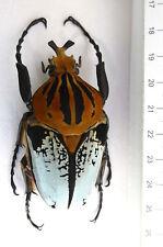 Goliathus cacicus male, F. hieroglyphicus, 71,95 mm Longueur, COTE D'' ivoirel, k2
