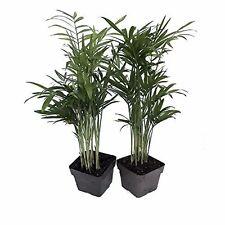"Victorian Parlor Palm 2 Plants Indoor Chamaedorea Indestructable 3"" Pots Flowers"