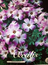 3 bulbs  Oxalis adenophylla, commonly known as Chilean oxalis Hardy plant
