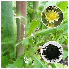 Opium Lettuce (Lactuca virosa) 50+ Seeds *Free International Shipping*