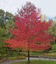 American Sweet Gum Low Maintenance Ornamental Shade Tree Sweetgum Bare Root