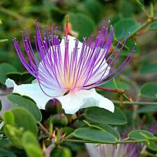 Caper Bush (Capparis sponosa)20  Fresh Seeds