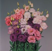 Lisianthus - Echo Series Mixed - 15 Seeds
