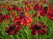 Helenium seeds - Red flower.  HP
