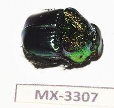 INSECT-phanaeus- SP. guerrero MEXICO RARE-MX-3307