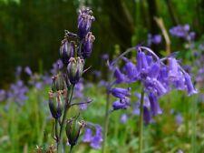 English Bluebell 150 flower seeds