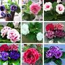 100Pcs Gloxinia Flower Seeds Rare Colorful Kinds Perennial Bonsai Balcoiny