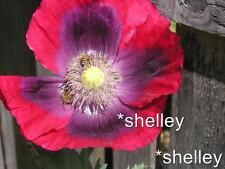 Afghan Hot Pink Papaver Somniferum Poppy Seeds. Organic Heirloom *Shelley Orig