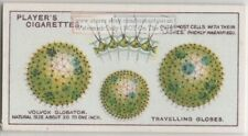 Volvox Globator Green Algae Move By Flagella 1920s Trade Ad Card