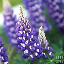 Lupine Purple Flower Garden 10 Fresh Seeds Free Shipping in Usa