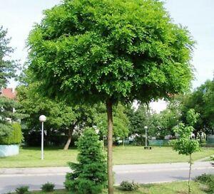 Standard Robinia Pseudoacacia Umbraculifera - False Acacia 160-180cm Tree
