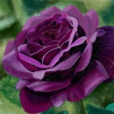 ROSE CLIMBER COLOUR PURPLE OVER 100 FRESH SEEDS FREE POST
