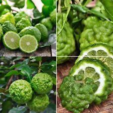 30Pcs Lime Seeds Tree Lemon Bonsai Plant Perennial Fruit Seed Garden Pot Plants