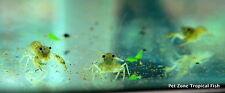 (6) Mexican Dwarf Crayfish - Freshwater Lobster - CPO Mexican Blue Dwarf Lobster