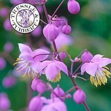 Rare Thalictrum delavayi hardy perennial 5 seeds UK SELLER
