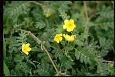 100 Tribulus terrestris Seeds small caltrops puncture vine goat's-head Gokshura