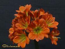 Clivia N°77 MPG X MPG06 (2 Seeds/Graines)