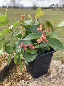 Gaultheria shallon Hardy Evergreen Shrub Garden Plant in 9cm pot