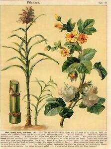 1900s COTTON SUGAR CANE PLANTS Antique Chromolithograph Print J.Staub