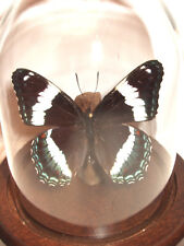 White Admiral Butterfly Dome (Limenitis arthemis)
