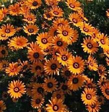 100 Seeds African Daisy Orange Flower Seeds