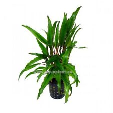 Cryptocoryne Undulata Topf, robuste Wasserpflanze, Aquariumpflanze, Barschfest