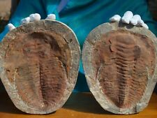 """Huge 8.5"""" inch Trilobite Fossil Pair Andalusiana  500 Million Years Old"""