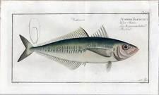 Fische-Angeln-Kupferstich Bloch 1782 Scomber Trachurus-Makrele-Mackerel-Fisch