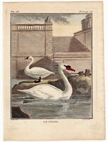 Gravure XVIIIe Cygne Swan Schwäne Cygnus Лебеди 天鹅 1783
