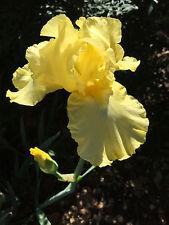 Tall Bearded Iris Harvest Of Memories Lemon Yellow Rhizome Perennial Plant