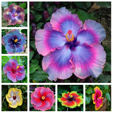 gardening giant hibiscus exotic coral flower 100 seeds mix rare blue-pink  Qe