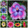 gardening giant hibiscus exotic coral flower 100 seeds mix rare blue-pink colorH