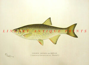 GOLDEN SHINER BREAM MINNOW ~ Antique Old 1902 Sherman Denton Game Fish Art Print