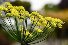 PURE FENNEL SEED ESSENTIAL OIL FOENICULUM VULGARE WILD NATURAL ARTISANAL NO1 IND