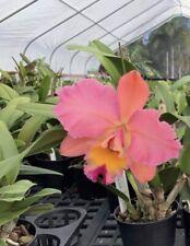 Rlc Princess Of Hawaii Nbs Newly Repotted 4� Pot (15)