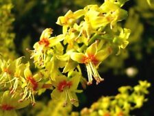 Koelreuteria paniculata or Golden Rain Tree 10 seeds