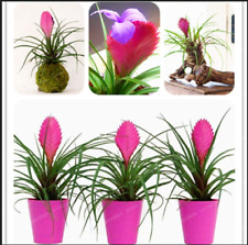 Tillandsia Cyanea Bonsai Orchid Potted Flowers 100 Pcs Seeds Home Plants Garden