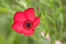 Flax Scarlet Nice Garden Flower 2,000 Seeds
